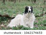 borzoi dog lying down outdoor. | Shutterstock . vector #1062174653