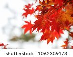 Red Japanese Maples Leaves In...