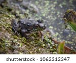 green frog sitting by a pond | Shutterstock . vector #1062312347