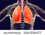 human respiratory system  lungs ... | Shutterstock . vector #1062330377