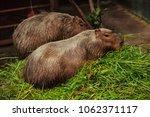 a capybara is the largest... | Shutterstock . vector #1062371117