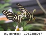 Small photo of Two Zebra Longwing Butterflies (Heliconius charitonia) on a flower, facing each other