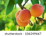 Ripe Apricots Grow On A Branch...