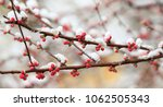 Blooming Peach Blossoms In The...