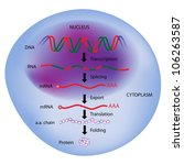 gene expression  central dogma... | Shutterstock . vector #106263587