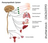 parasympathetic pathway of the... | Shutterstock . vector #106263593