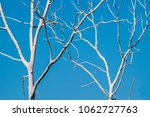 Small photo of Two dead fruitless leafless trees with clear blue sky background