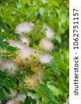 Small photo of White acacia flowers