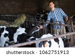 Smiling Adult Man Touching Cow...