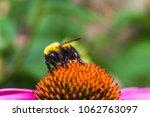 Bumblebee On A Coneflower.