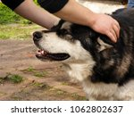 Small photo of Hands caress and caress the glorious malamute