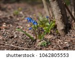Blue Flowers Of The Scilla...