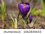 single blooming purple flower... | Shutterstock . vector #1062834653