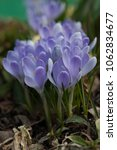 blooming blue flowers crocuses. ... | Shutterstock . vector #1062834677