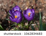 three blooming purple flowers... | Shutterstock . vector #1062834683
