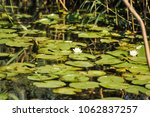 white water lilies in the... | Shutterstock . vector #1062837257