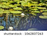 white water lilies in the... | Shutterstock . vector #1062837263