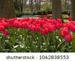 Red Tulips Flowers Blooming In...