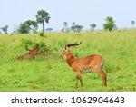 antelope reedbuck in the... | Shutterstock . vector #1062904643
