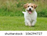Stock photo jack russel terrier dog puppy months happy in the meadow 106294727