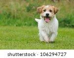 Jack Russel Terrier Dog Puppy ...