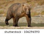 grizzly bear walking on beach.   Shutterstock . vector #106296593
