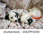 Stock photo dalmatian puppies cute 1062991043