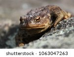 the common toad bufo bufo... | Shutterstock . vector #1063047263