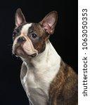 boston terrier dog on isolated... | Shutterstock . vector #1063050353