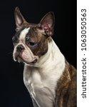 boston terrier dog on isolated... | Shutterstock . vector #1063050563
