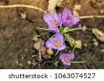single blooming purple flower... | Shutterstock . vector #1063074527