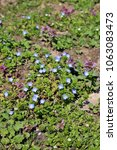Small photo of Persian speedwell (Veronica persica) in the garden.