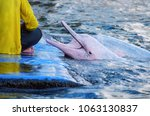 pink dolphin waiting for food... | Shutterstock . vector #1063130837