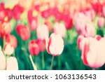 tulip field in spring   Shutterstock . vector #1063136543