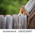 Cute Eastern Fox Squirrel ...