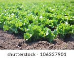 isolated plant of salad in countryside - stock photo
