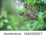 pink lilac ready to bloom in... | Shutterstock . vector #1063332017