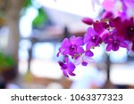 beautiful purple orchid in... | Shutterstock . vector #1063377323