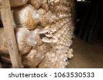 cultivation of angel mushrooms. ...   Shutterstock . vector #1063530533