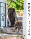 Small photo of Two Serra da Estrela Portuguese dog laying in a garden