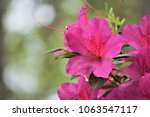 pretty purple azalea flower... | Shutterstock . vector #1063547117