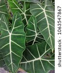 Small photo of Huge green leaves of Alocasia, Elephant ear plant