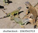 three iguanas on the ground at... | Shutterstock . vector #1063561913