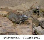 medium close up of an iguana... | Shutterstock . vector #1063561967