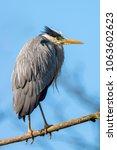 grey heron  ardea cinerea | Shutterstock . vector #1063602623