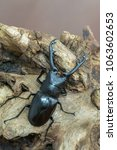 giraffe stag beetle  ...   Shutterstock . vector #1063602653