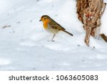 robin  erithacus rubecula .... | Shutterstock . vector #1063605083