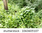 erithacus rubecula. nest... | Shutterstock . vector #1063605107