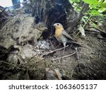 erithacus rubecula. the nest of ... | Shutterstock . vector #1063605137