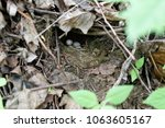 erithacus rubecula. the nest of ...   Shutterstock . vector #1063605167